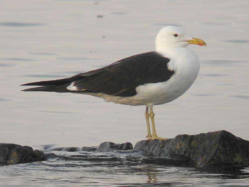 Silltrut - Lesser Black-backed Gull  (Larus fuscus fuscus)
