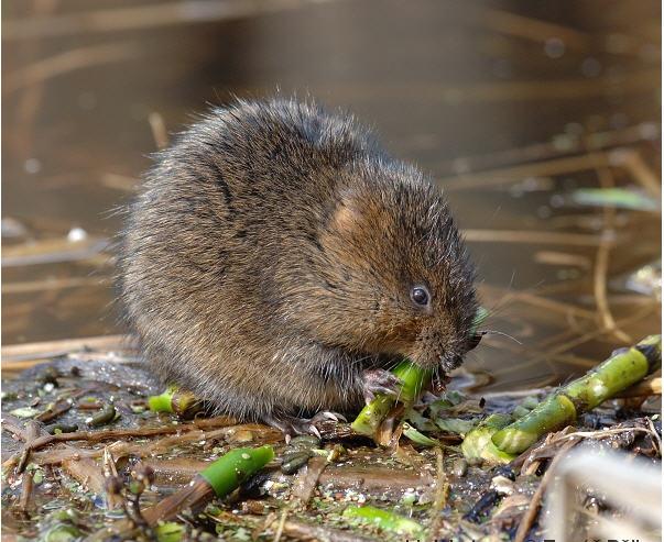 http://image.nauka.bg/bio/zoo/rat/Arvicola_terrestris1.jpg