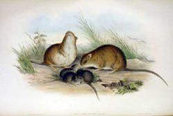 http://image.nauka.bg/bio/zoo/rat/Melomys_cervinipes.jpg