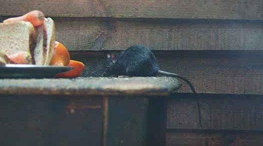 http://image.nauka.bg/bio/zoo/rat/rattus04.jpg