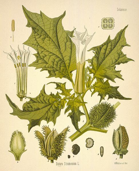 http://image.nauka.bg/bio/botanika/thorna12-l.jpg